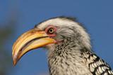 yellow-billed hornbill poster