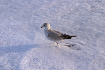 pigeon in foam