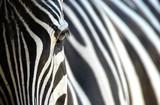 Fototapete Afryka - Zebra - Dziki Ssak