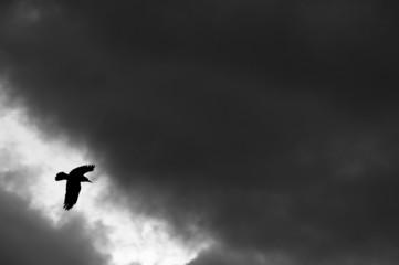raven bird flying in the night