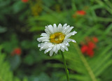 camomile after a rain poster