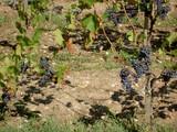 vignes en saint emilion poster