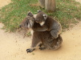 koala and son poster