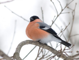 pompous bullfinch on a twig