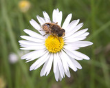 bee and a daisy poster