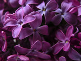 lilacs close up poster