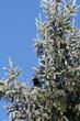 raven on a spruce