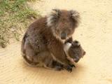 koala cuddle poster