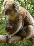 koala cuddling baby poster