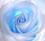 blue rose - 490834