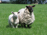 two sheep poster