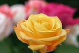 yellow rose foreground poster