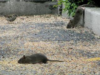 oh, rats #7
