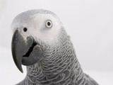 head of african grey poster