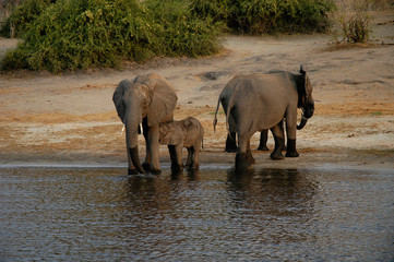 african bush elephants and nursing calf