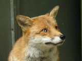 red fox face poster