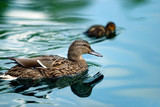 ducks in a pond poster