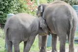 nursing elephant poster
