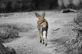 african wild dog poster