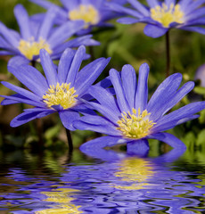 blue flowers reflected in water