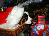 cute puppy in a basket under christmas tree poster