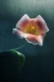 tulip in a rain poster