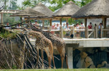 giraffes eating at the zoo poster