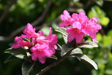 rosa blüten der alpenrose