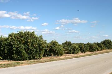 orange groves in florida
