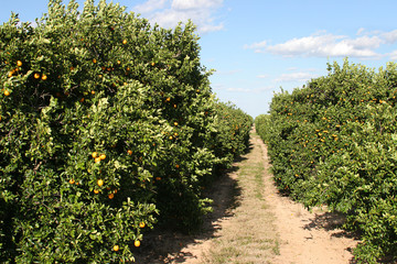 path through orange grove