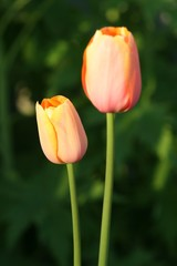 two easter tulips