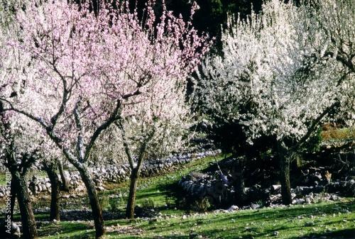 mandelblüte mallorca