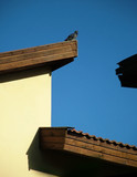 pigeon on a  roof poster