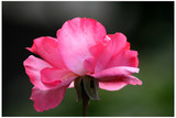 die stolze rose poster
