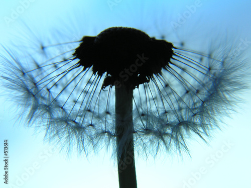 dandelion as a silhouette - 513614