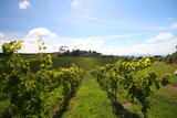 vineyard rows poster