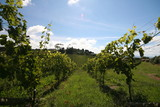 vineyard rows low-view poster
