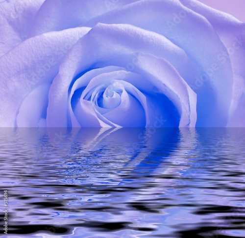 blue rose, reflection in water