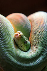 green poisonous snake coiled with head peering out and looking a