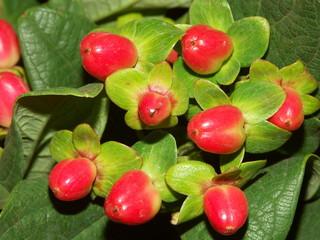 fleurs rouges de l'hypericum