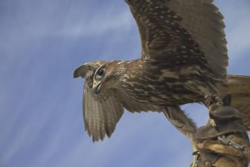 halcon en vuelo