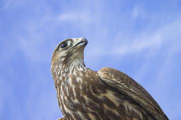 halcon en el cielo