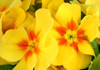 primrose beauties