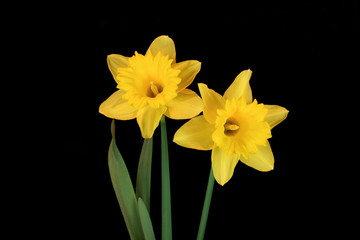 daffodil beauties