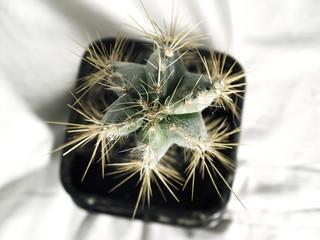 green cactus.