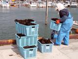 seaweed harvest poster