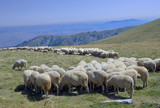 sheep eating at the pasture in macedonia poster