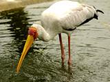 yellow billed stork poster