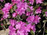 violet azalea bush poster
