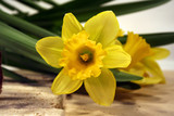 daffodils on the side poster